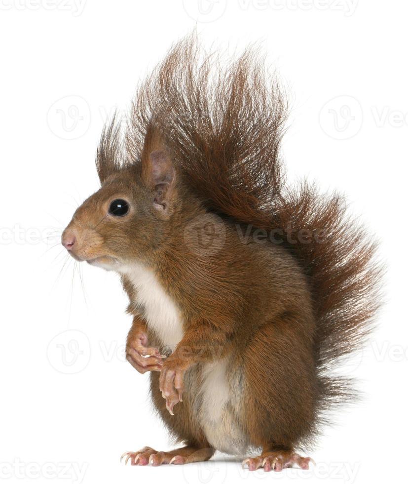 Euraziatische rode eekhoorn, sciurus vulgaris, 4 jaar oud, witte achtergrond. foto
