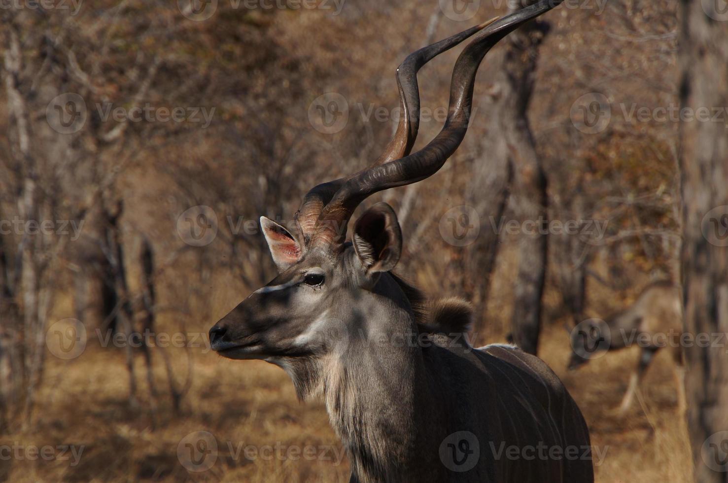 kudu die wat zonnestralen vangt foto