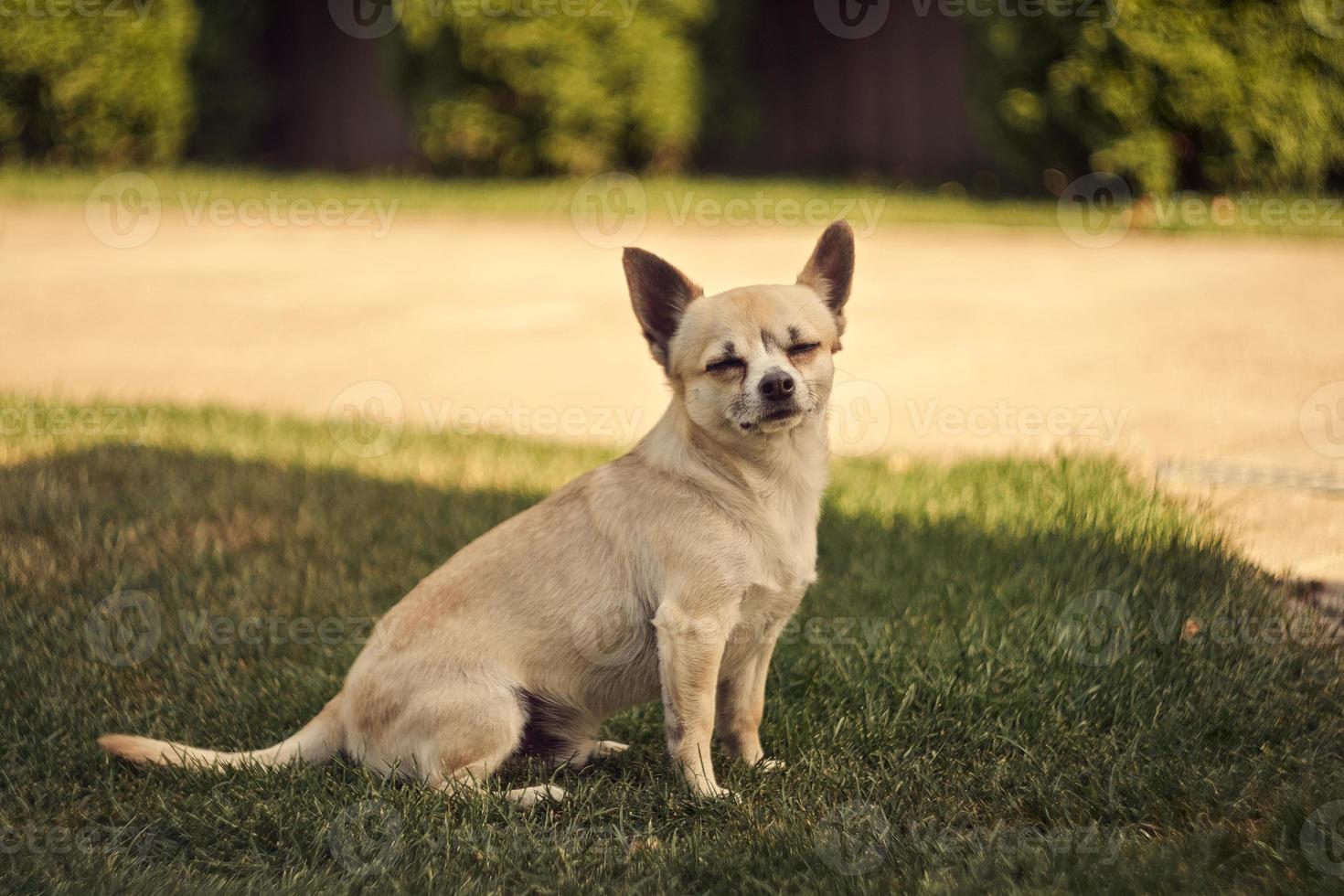 schattige kleine chihuahua hond foto