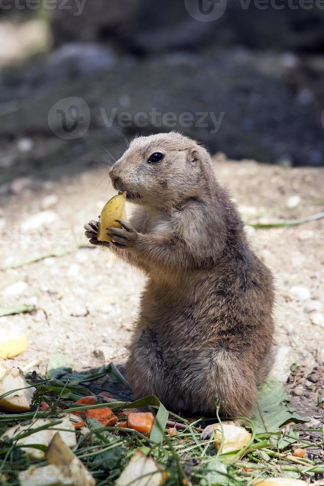 souslik eten (gopher, grondeekhoorn) foto