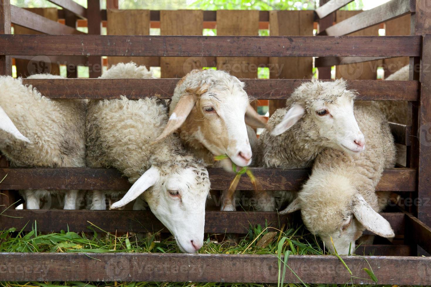 schapen eten foto