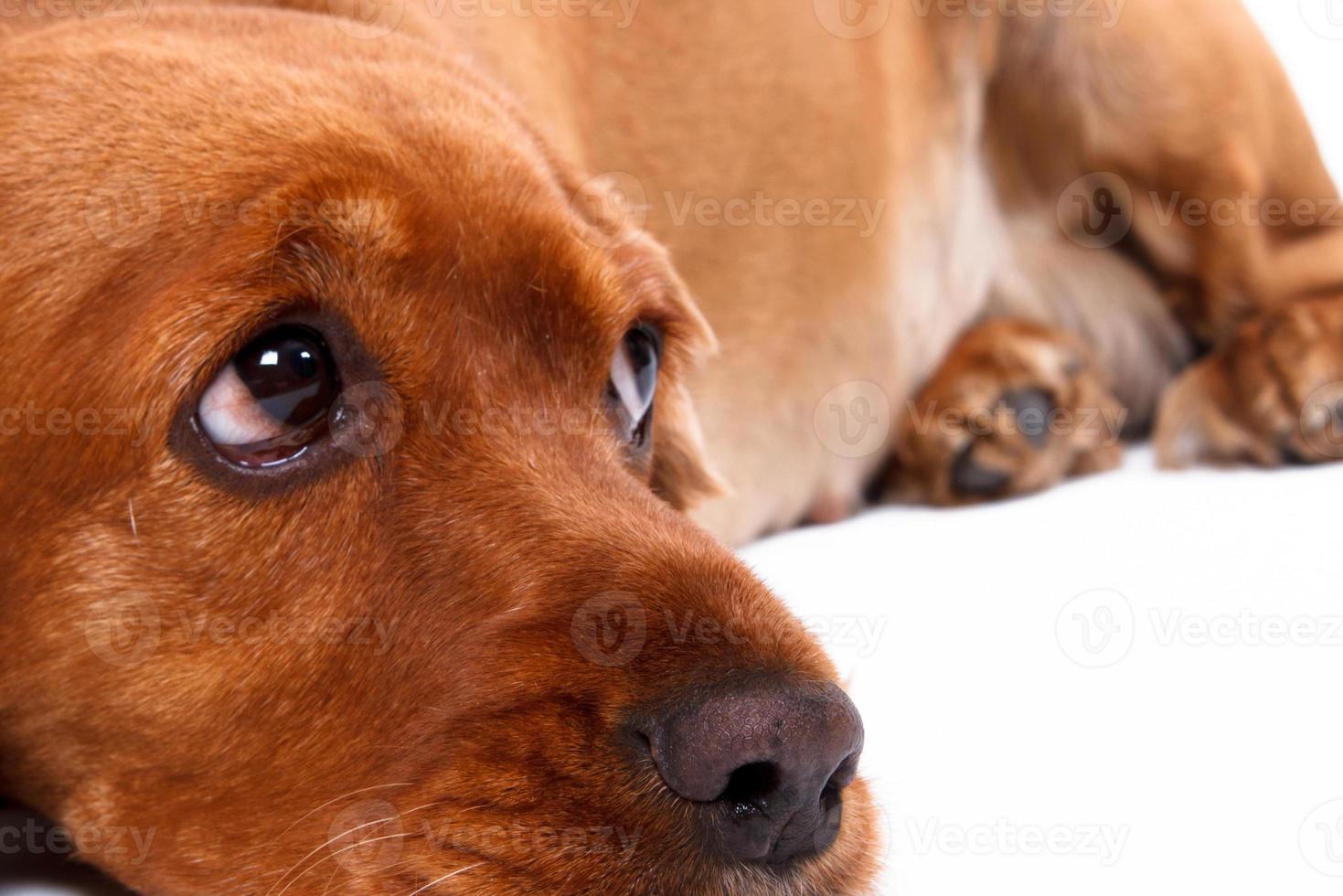 Engelse cocker spaniel hond liegen foto