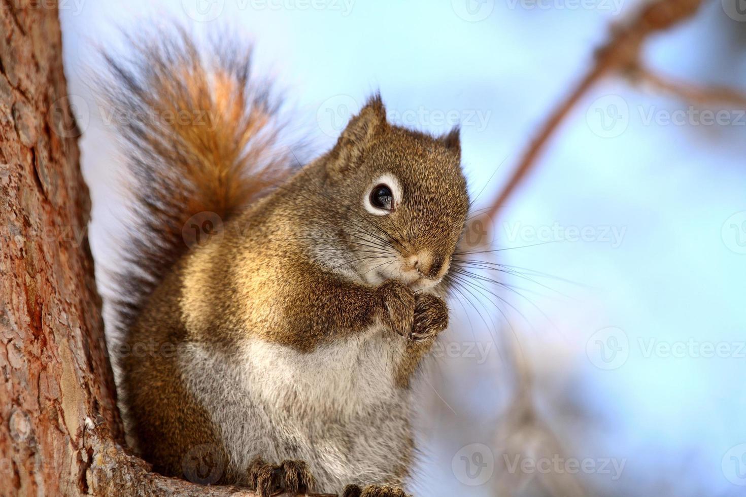 rode eekhoorn op boomtak foto