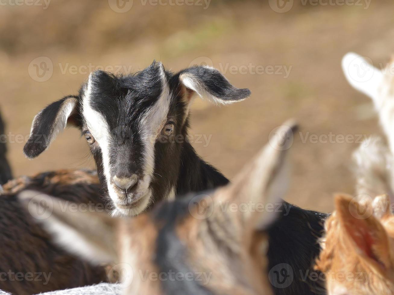 schattige baby geitenwelp foto