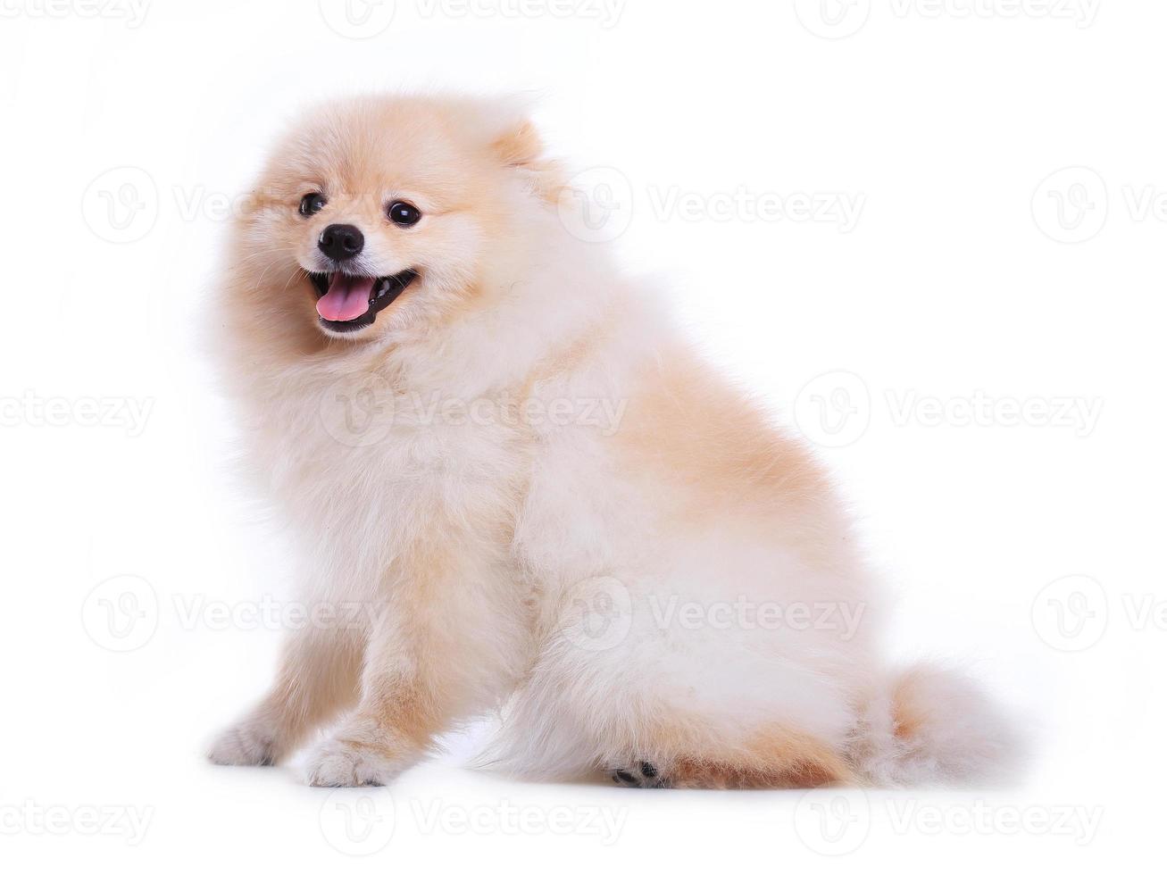 witte Pommeren puppy hond geïsoleerd foto