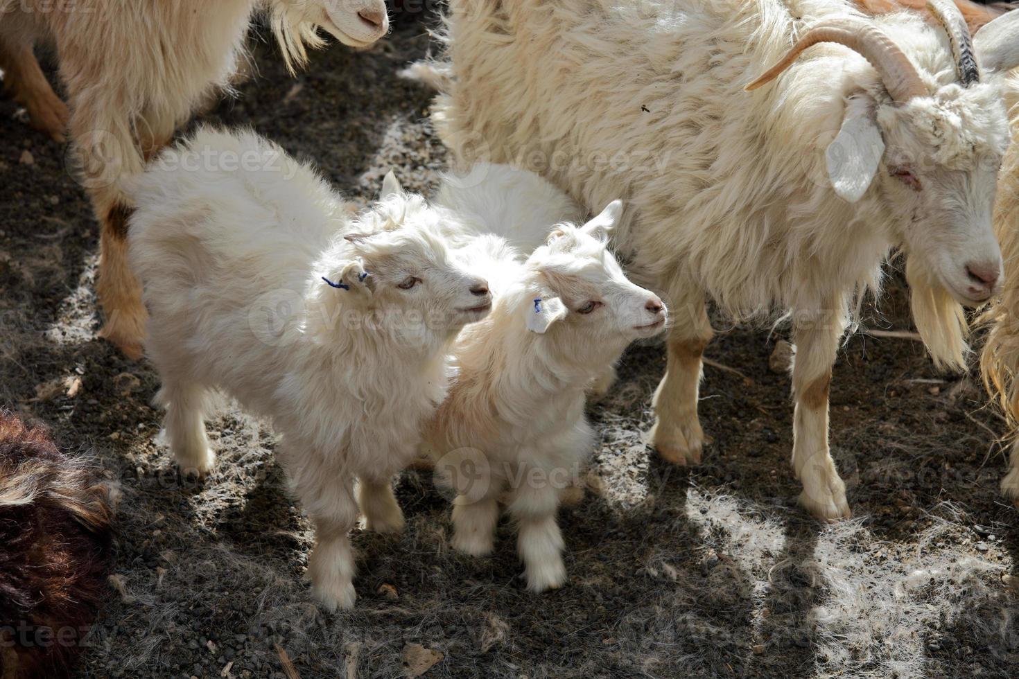 pashmina geiten foto