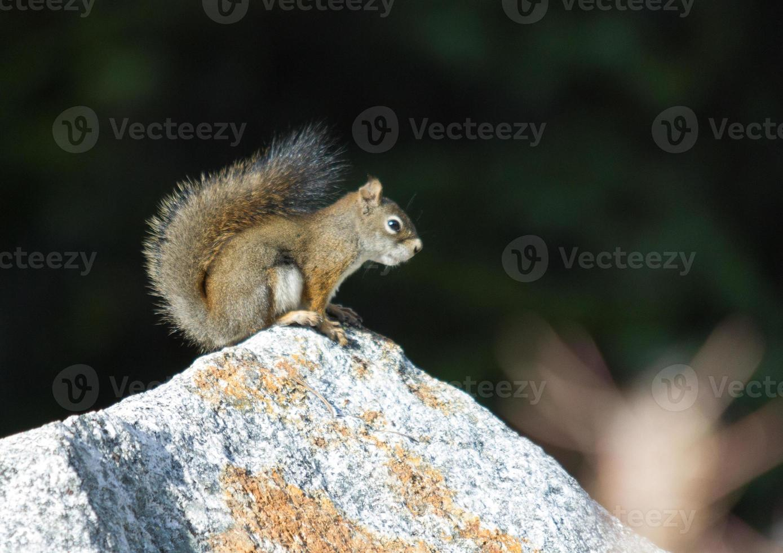 rode eekhoorn op rots foto