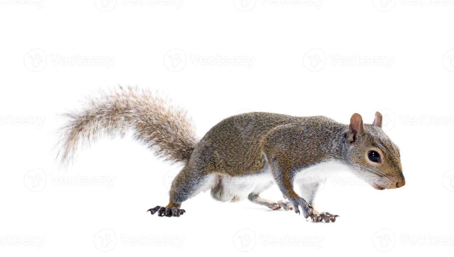 jonge mannelijke Amerikaanse grijze eekhoorn. geïsoleerd op witte achtergrond foto