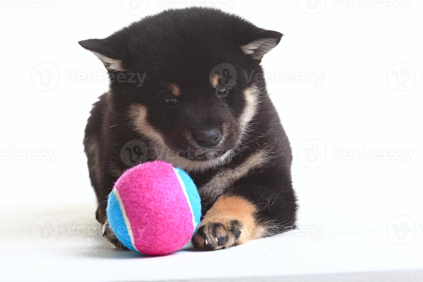 shiba inu puppy witte achtergrond foto