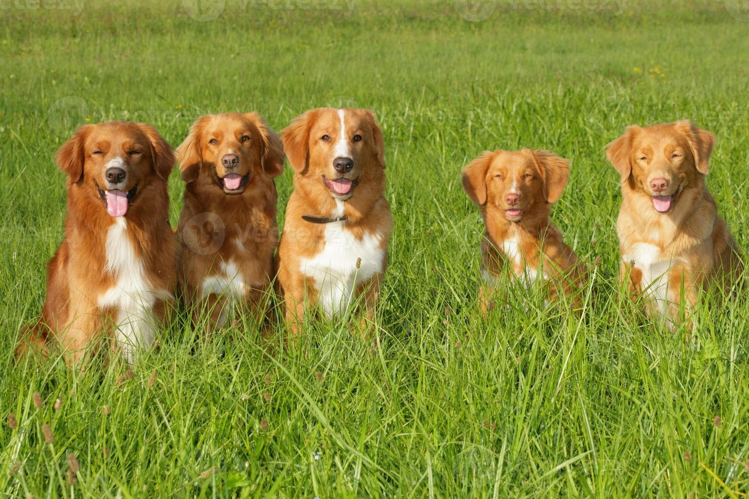 groep honden nova scatia duck tolling retriever foto