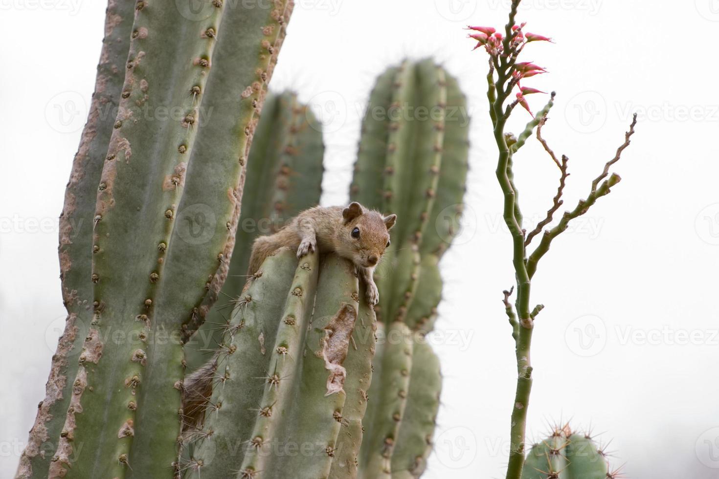 eekhoorn op cactusplant foto