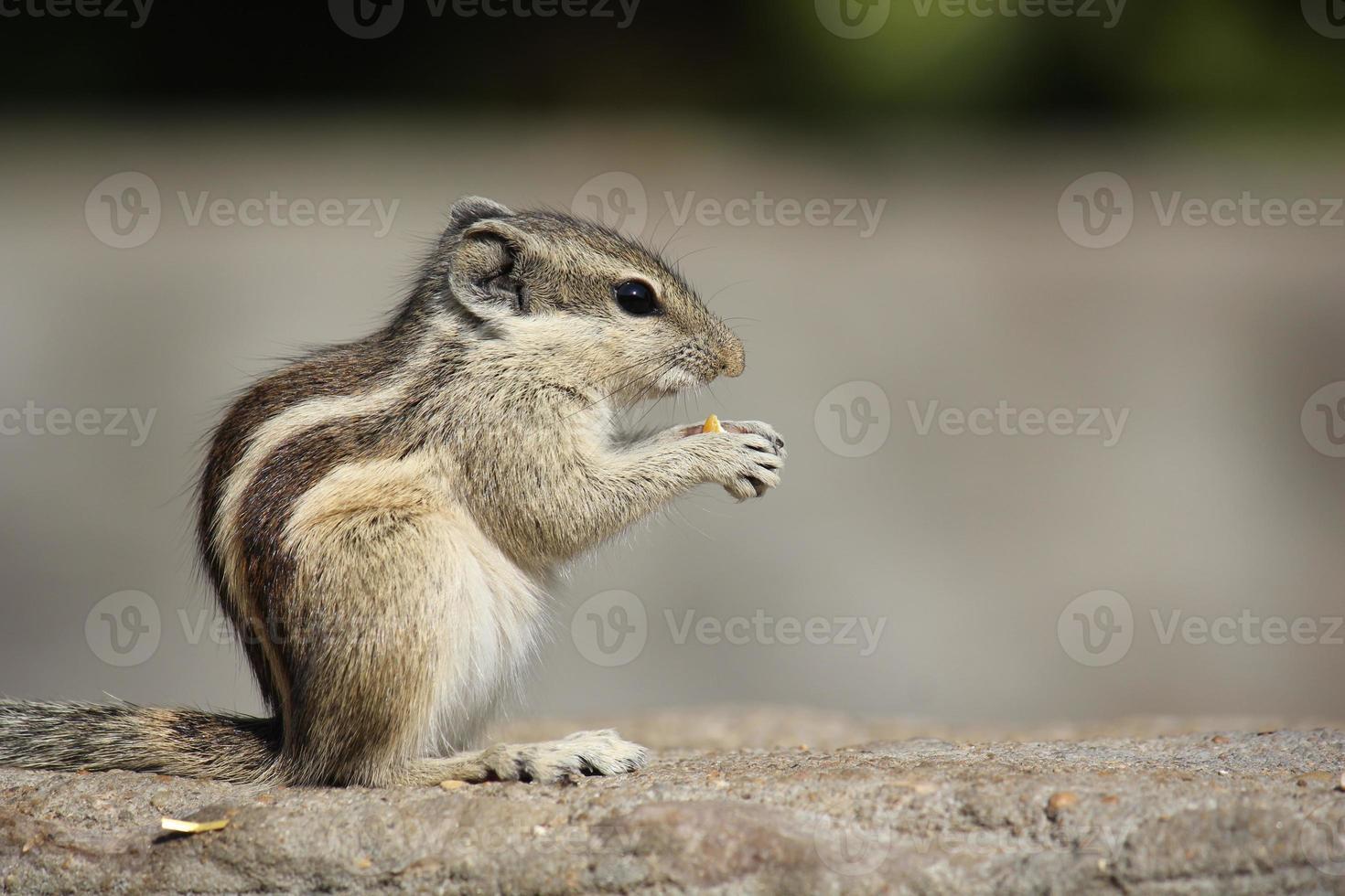 klein knaagdier dat een eikel eet foto