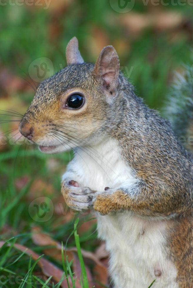 eekhoorn close-up, poten bij elkaar houden, op zoek aandachtig foto