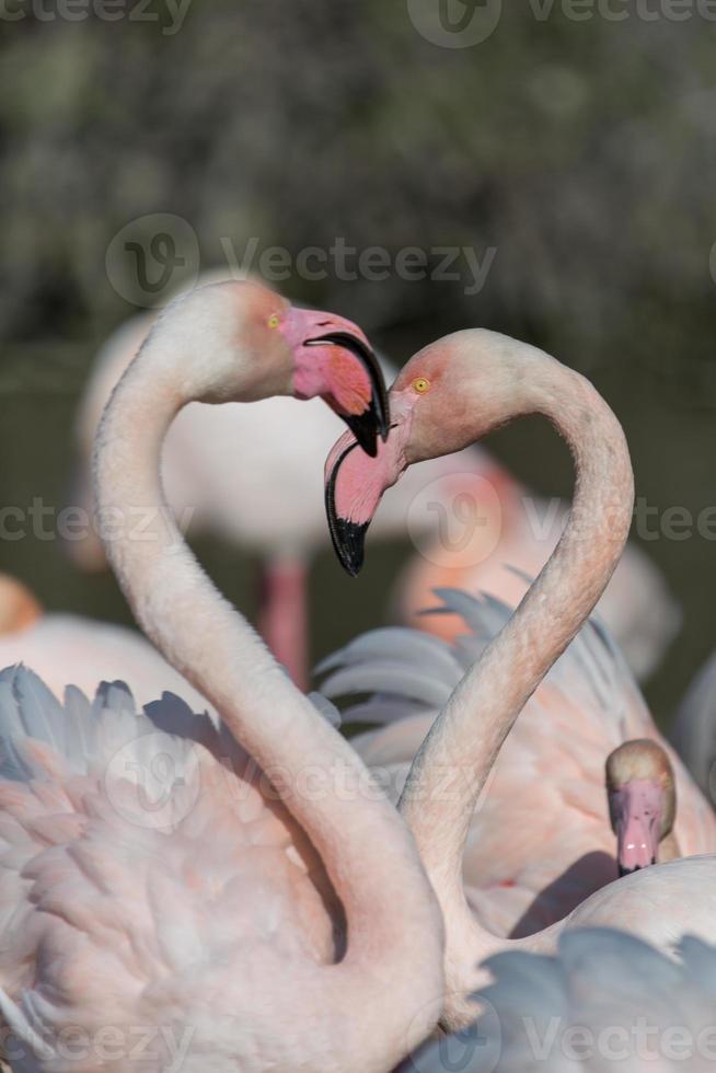 gruppe flamingo's foto