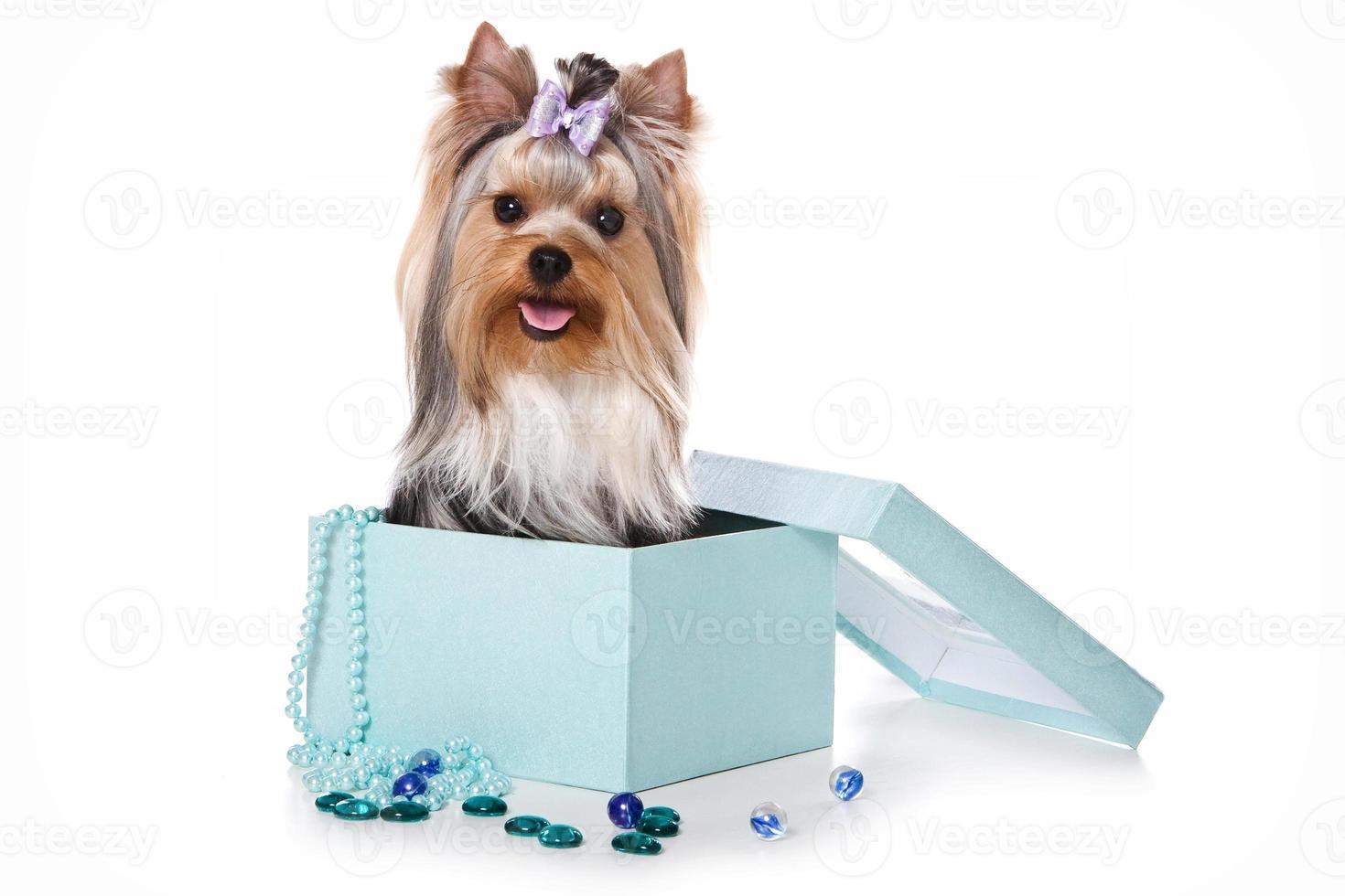 Yorkshire terrier hond zitten in een doos (geïsoleerd op wit) foto