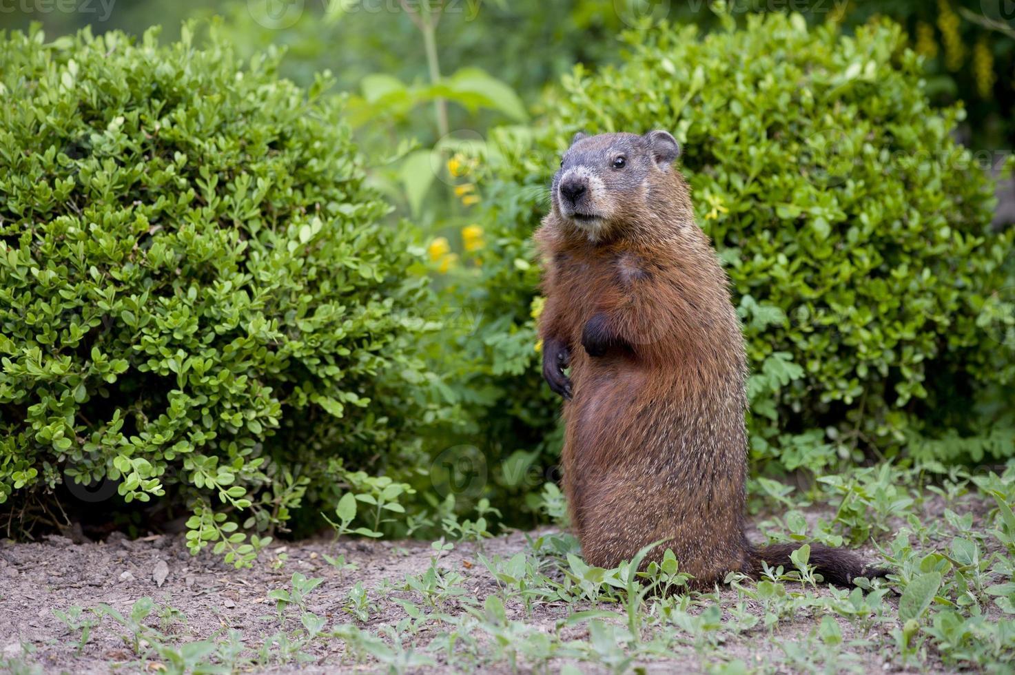 jonge groundhog pup, ook wel bosmarmot genoemd foto