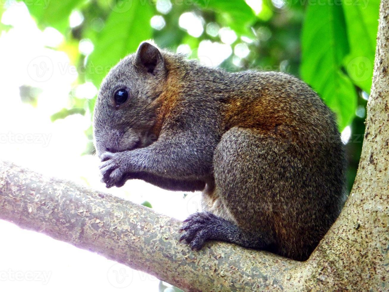 de eekhoorn foto