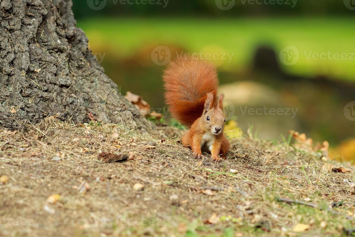 bruine eekhoorn. foto