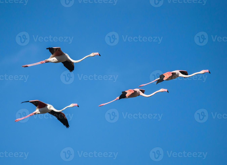 vier grotere flamingo's tijdens de vlucht foto