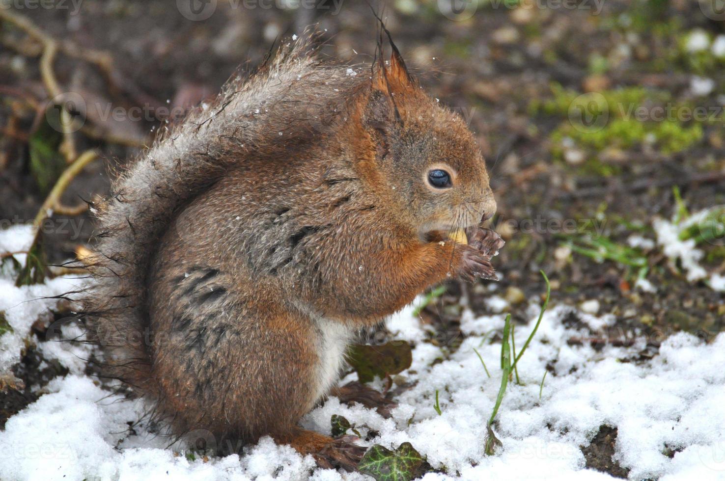 rode eekhoorn foto