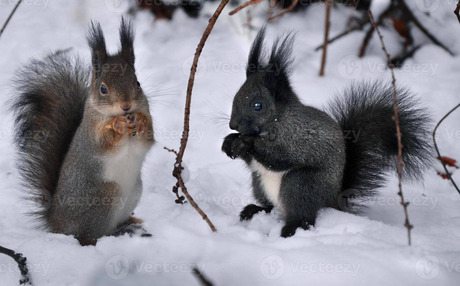twee eekhoorn foto