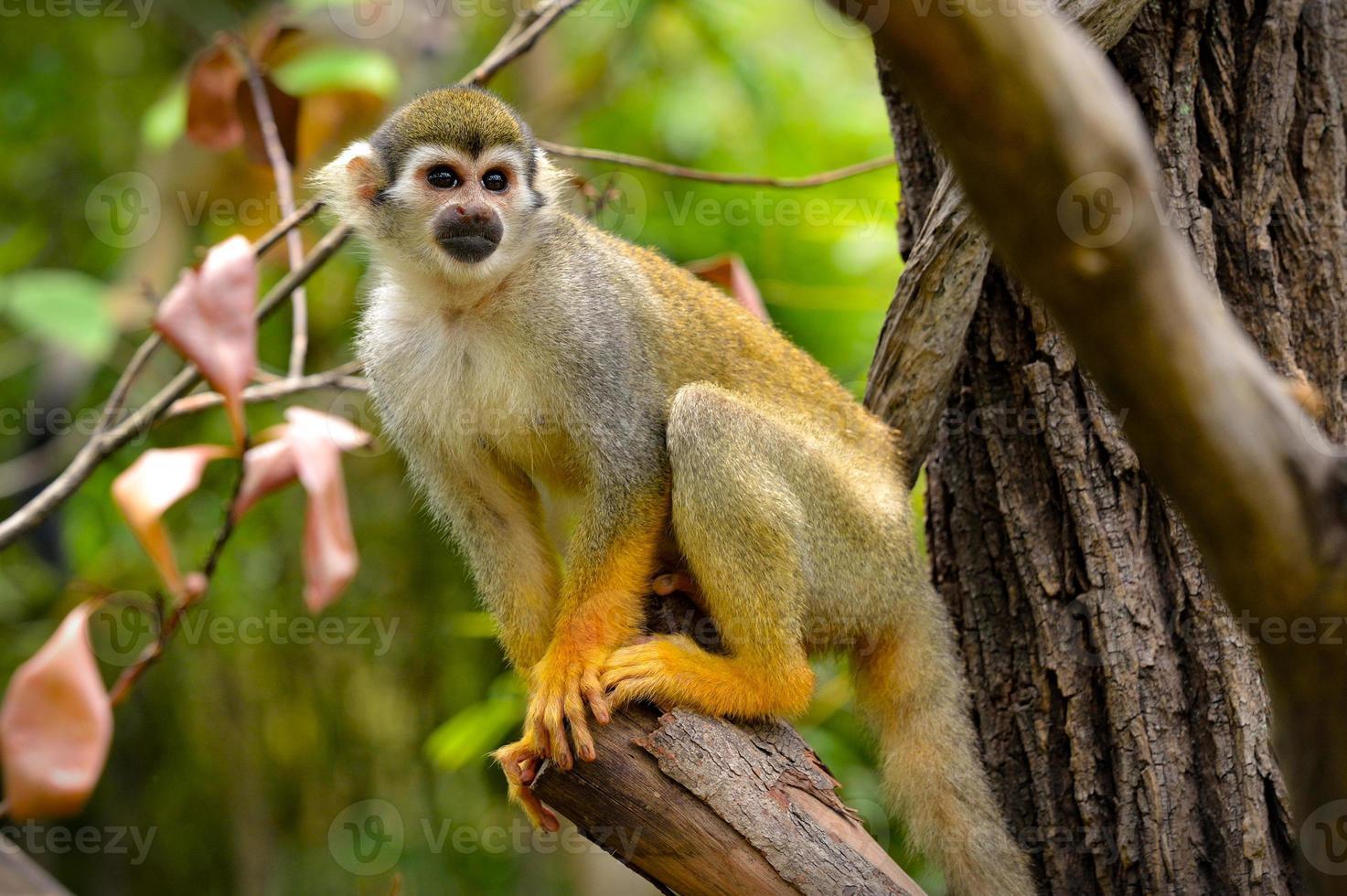 eekhoorn aap foto