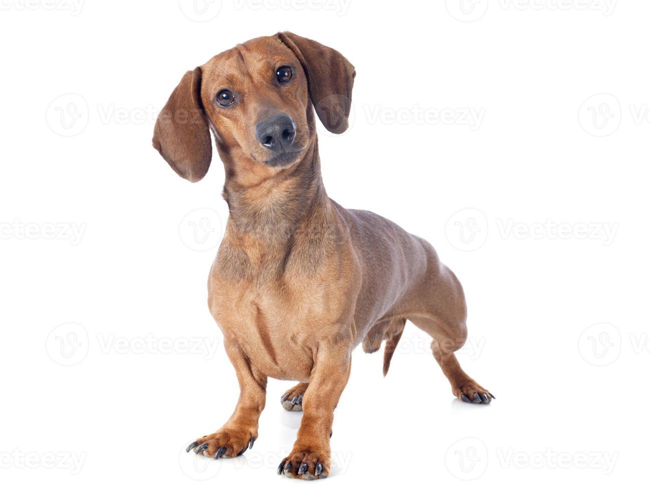 teckel hond foto