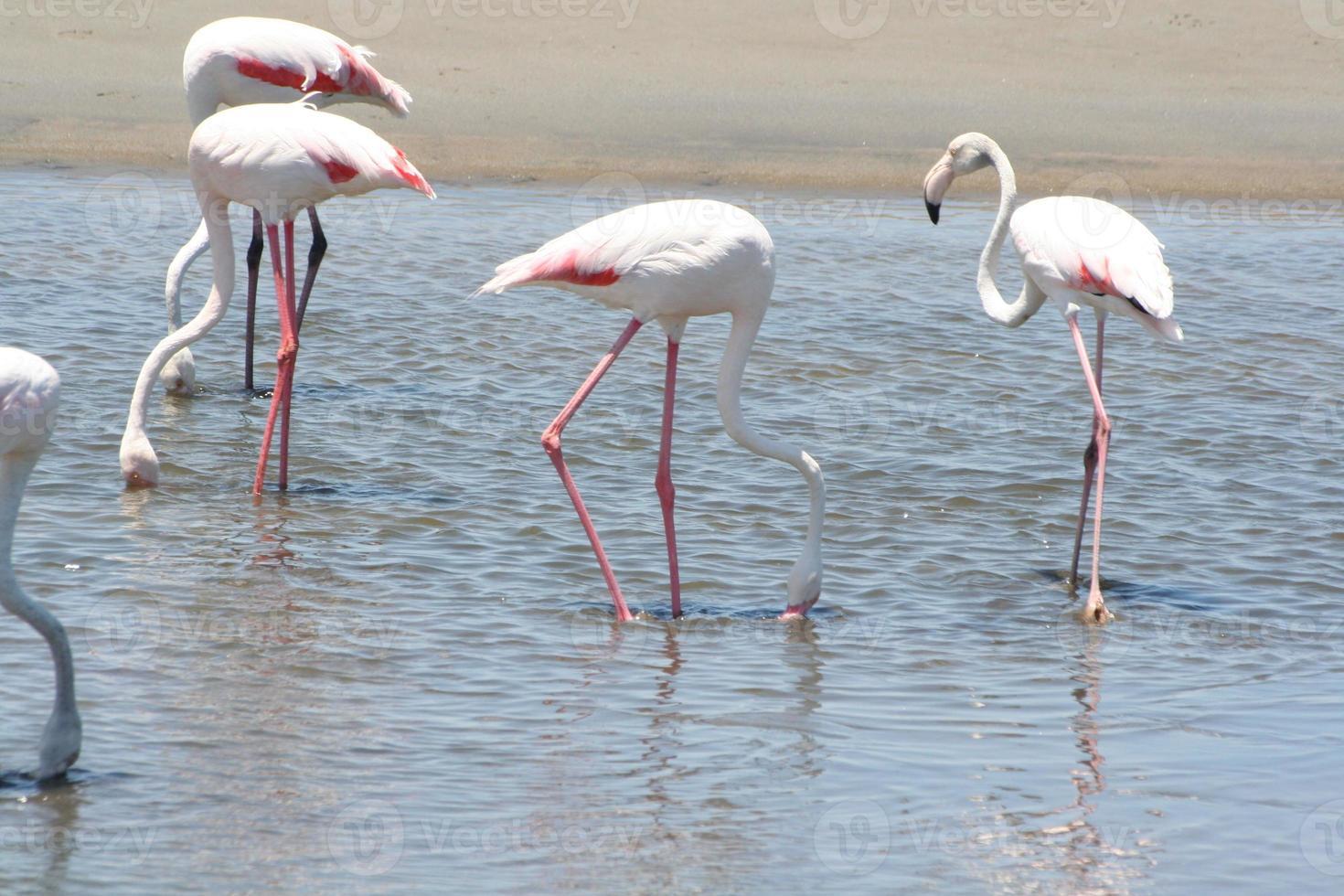 flamingo's in de lagune van Walvis Bay, Namibië, Afrika foto