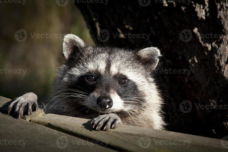wasbeer gezicht foto