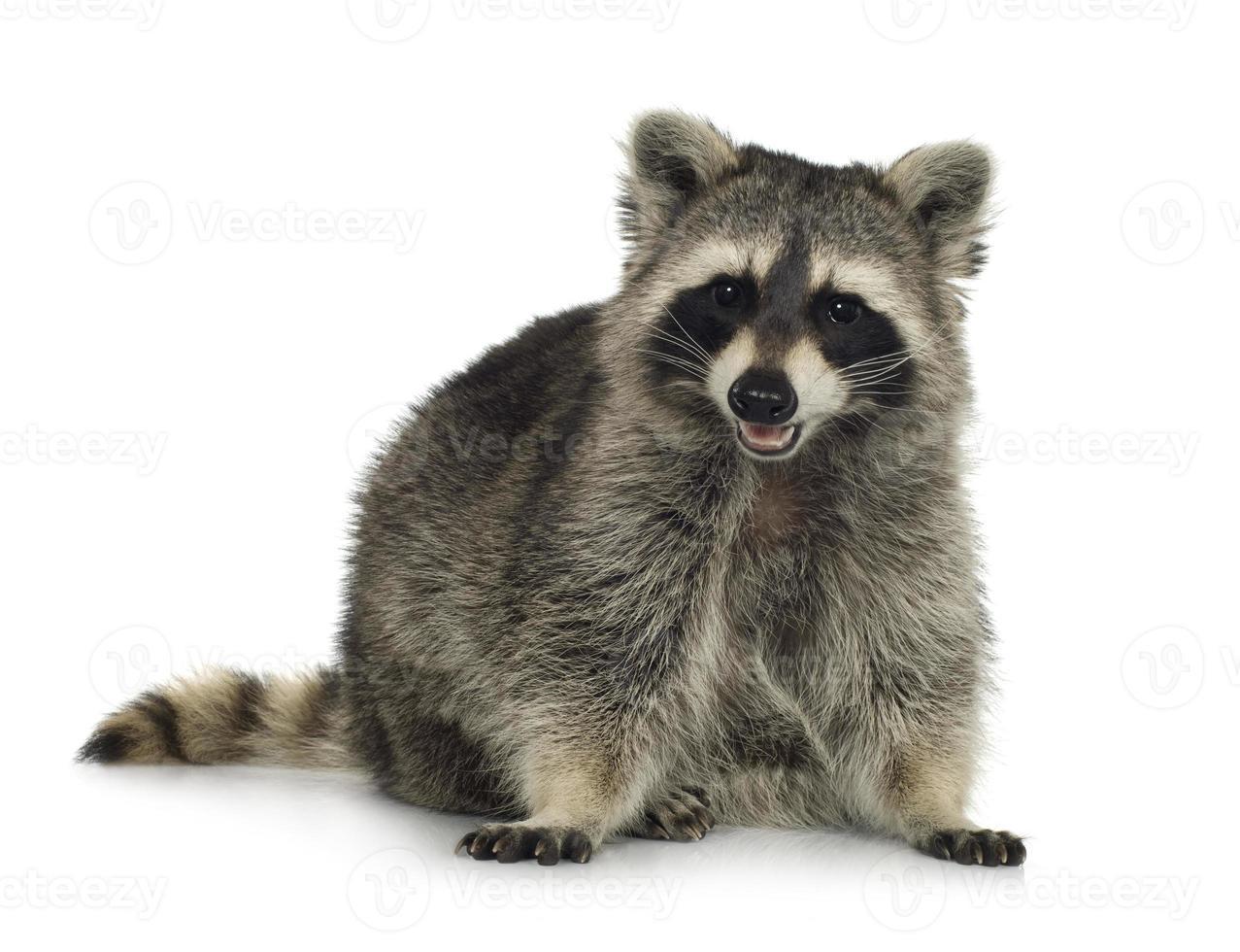 wasbeer (9 maanden) - procyon lotor foto