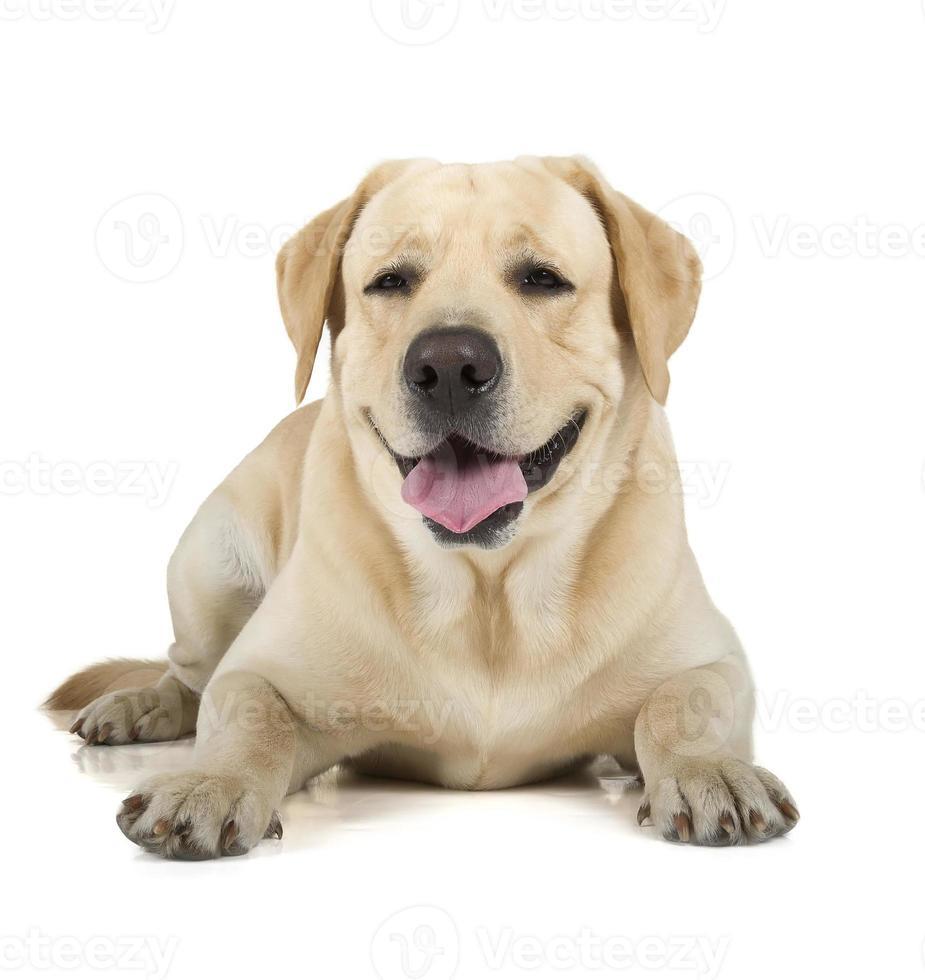 gele labrador retriever lachend foto