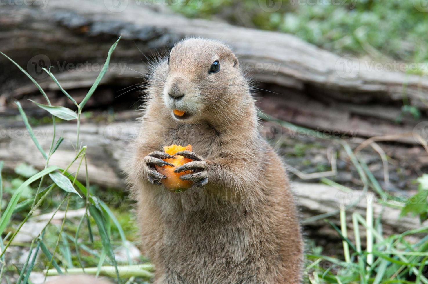 Prairiehond die met zwarte staart een wortel eet foto