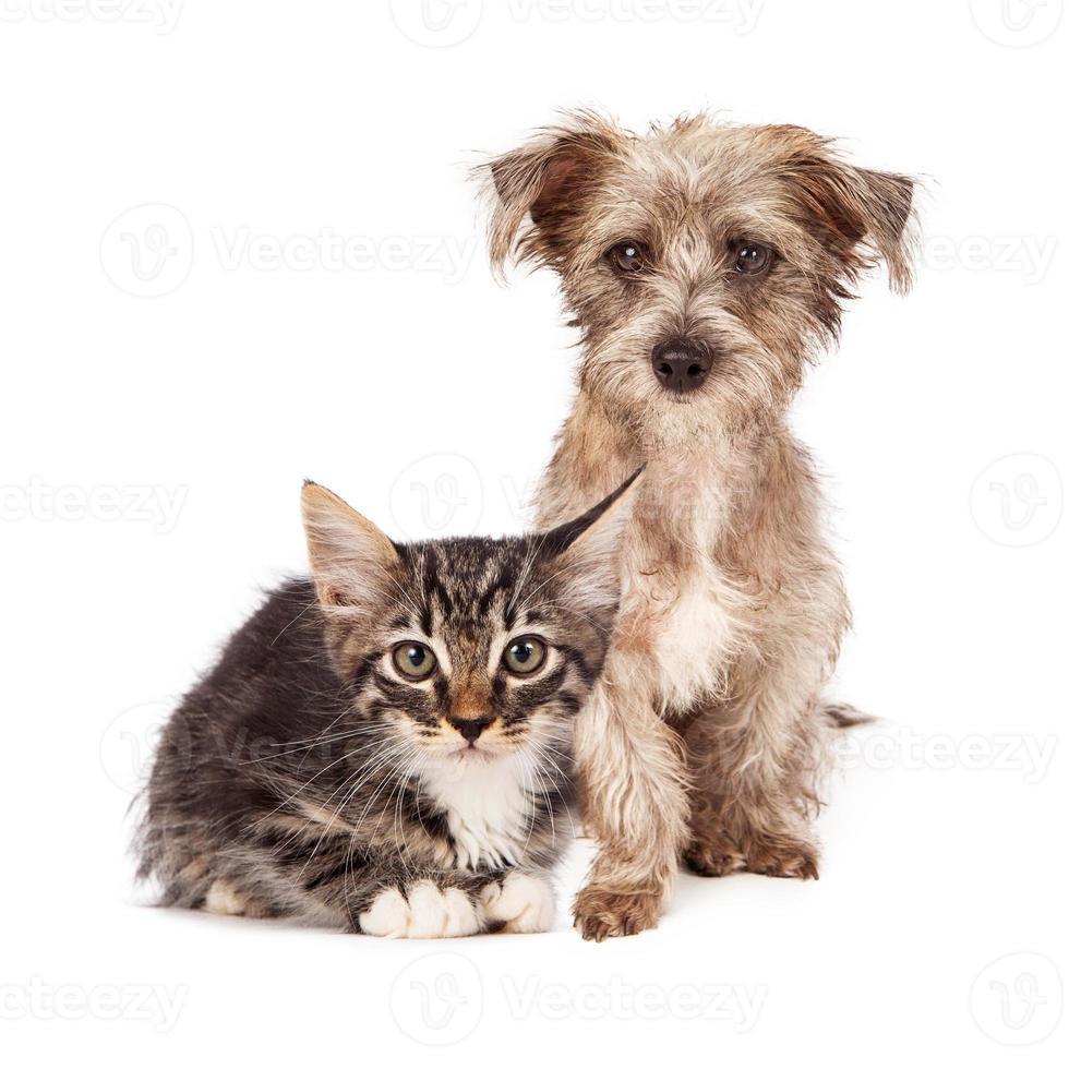 terriër gemengd ras puppy en tabby kitten foto