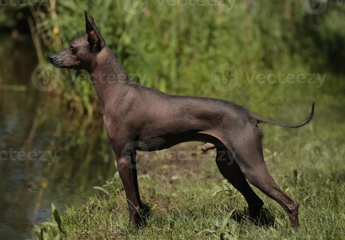 Peruaanse haarloze hond, chien noble sagan, peruaanse naakthond, naakthond foto