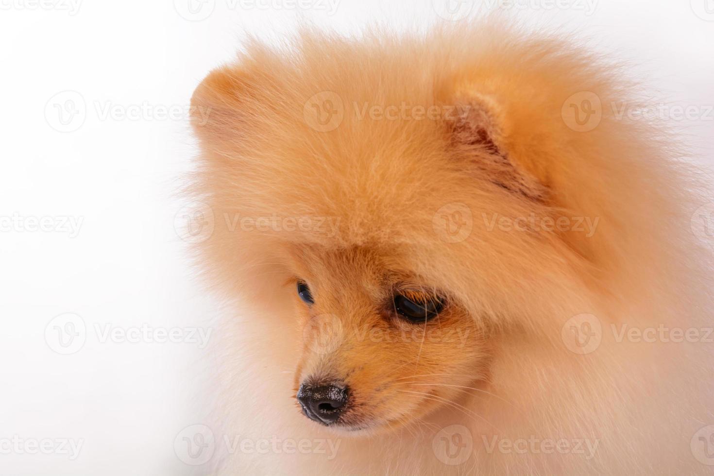 Pommerse puppy's. foto