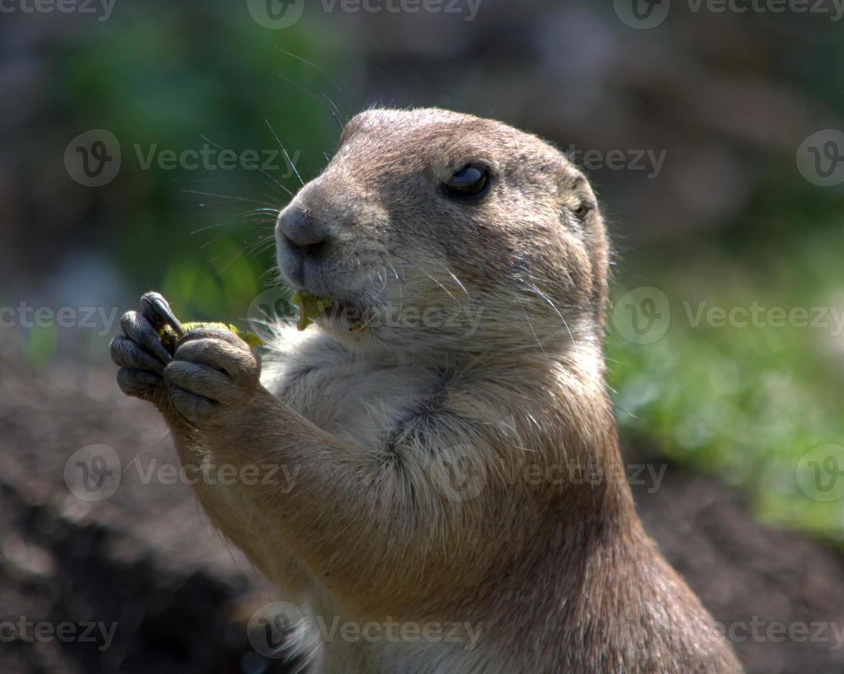 Prairiehond eten foto