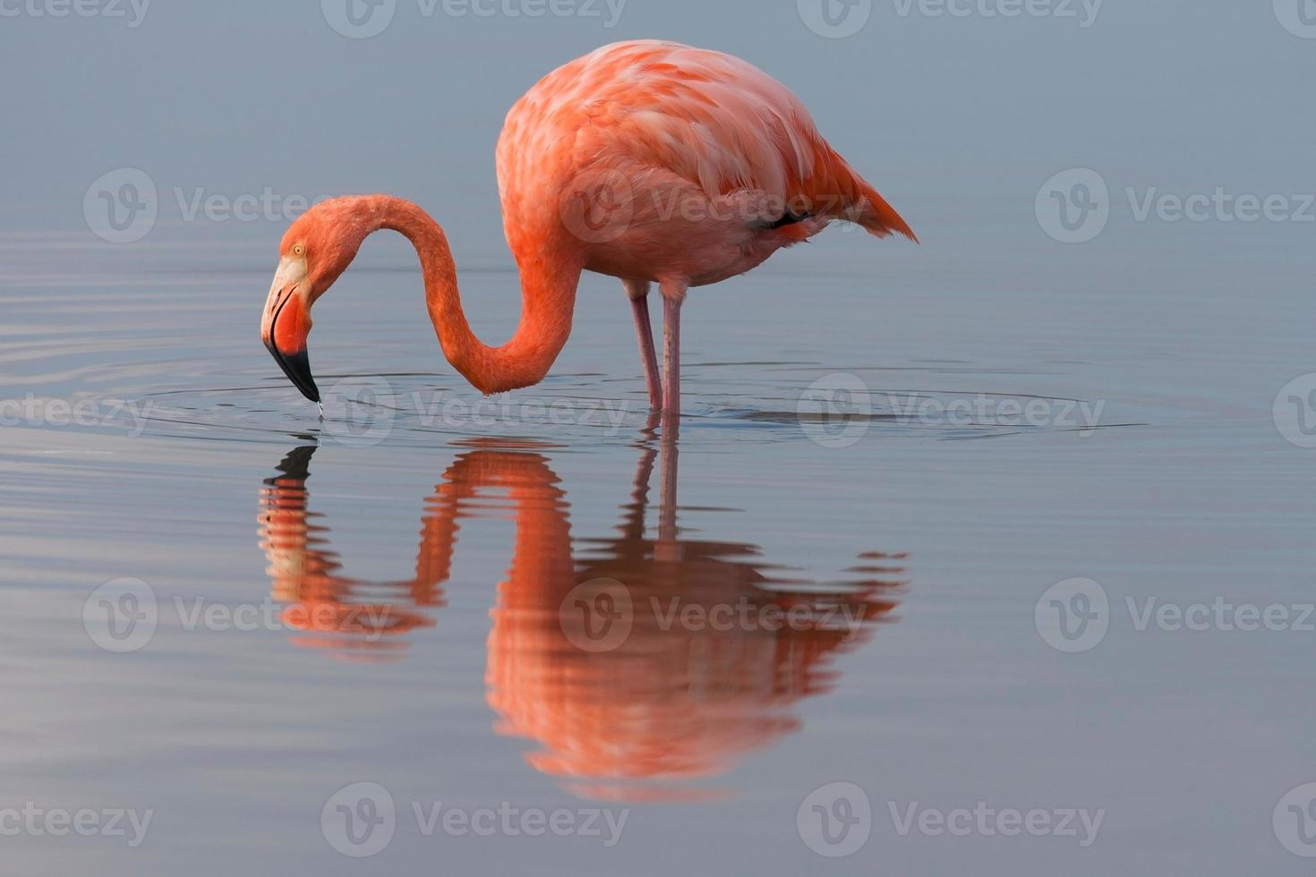 Amerikaanse flamingo die zich in meer bevindt foto