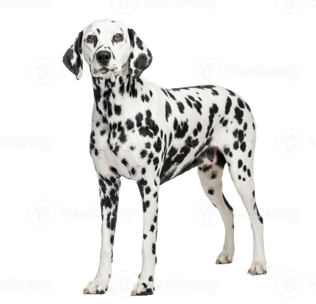 Dalmatische staande, geïsoleerd op wit foto