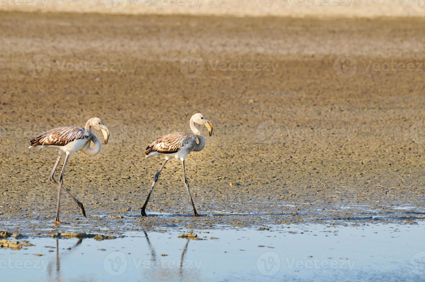 twee jonge grotere flamingo's lopen foto