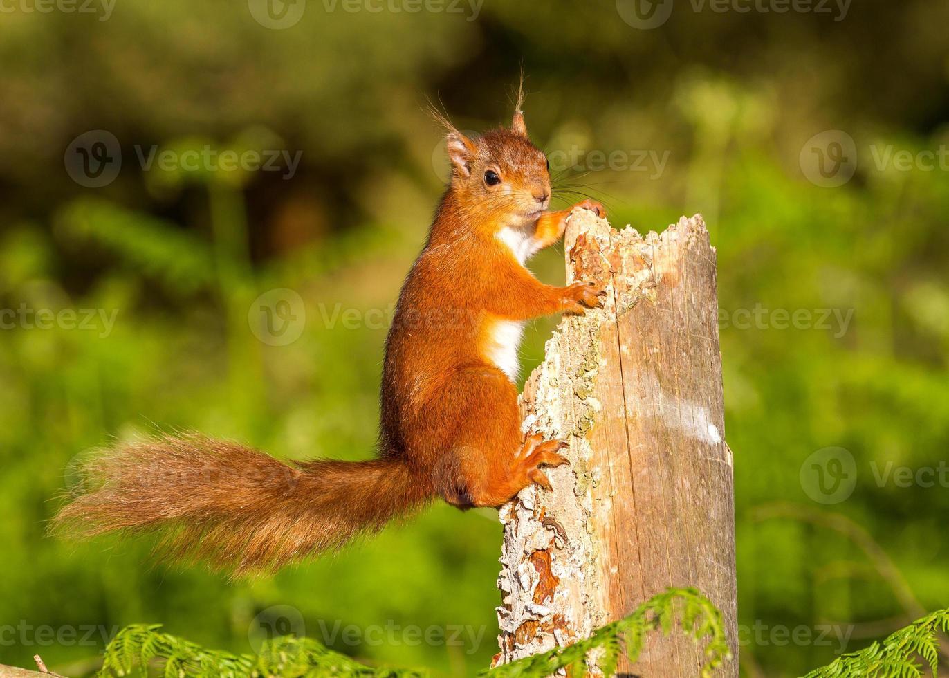 rode eekhoorn op wacht foto