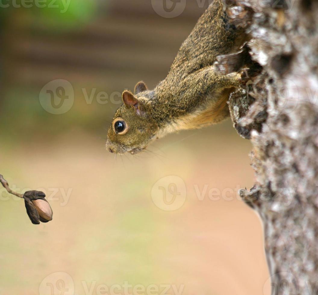 eekhoorn die zijn lunch bekijkt foto