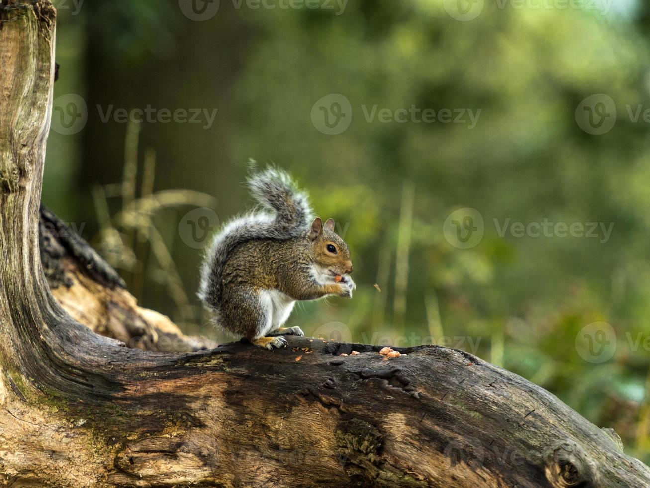 juveniele grijze eekhoorn (sciurus carolinensis) foto