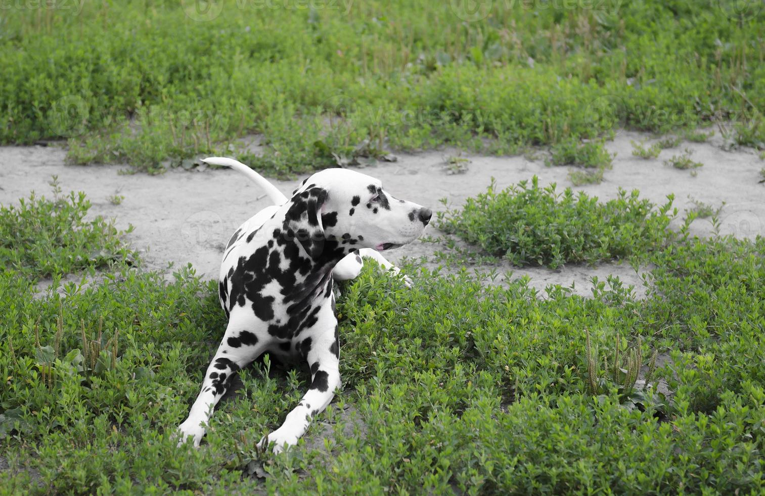 Dalmatische hond foto