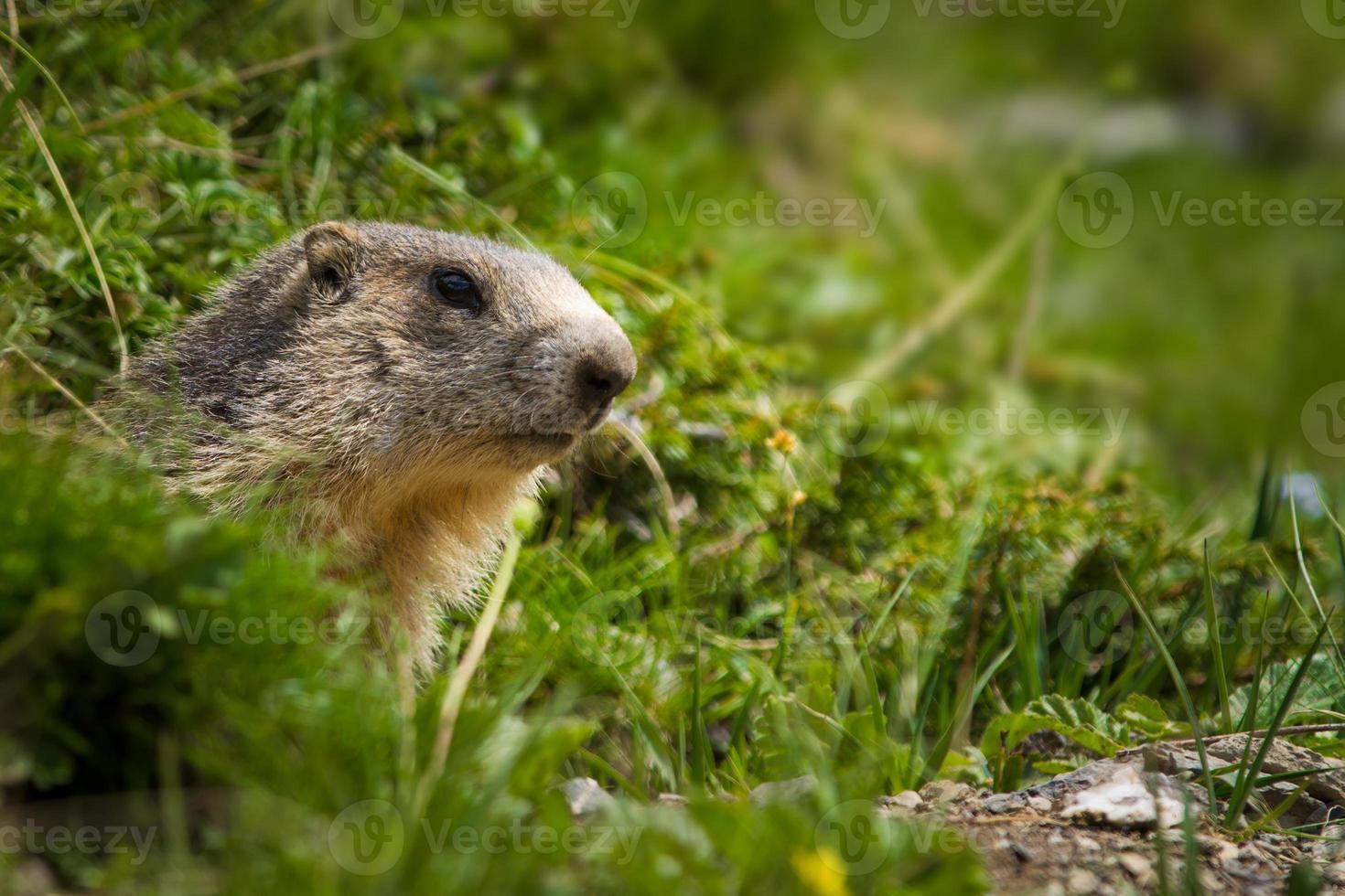 marmot in de Alpen foto