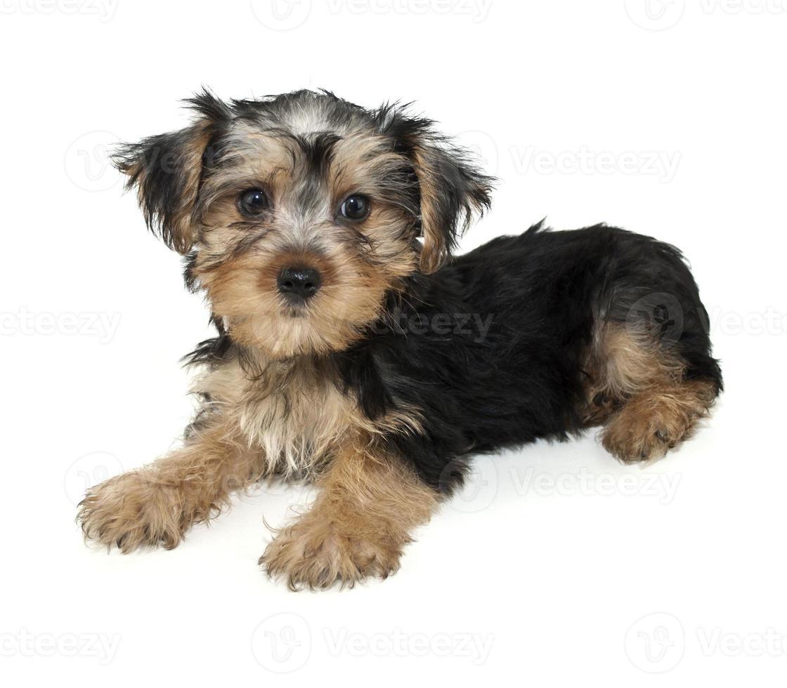 morkie puppy foto