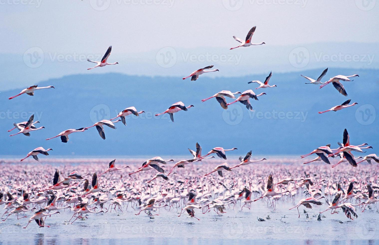 mindere flamingo (phoeniconaias minor) foto