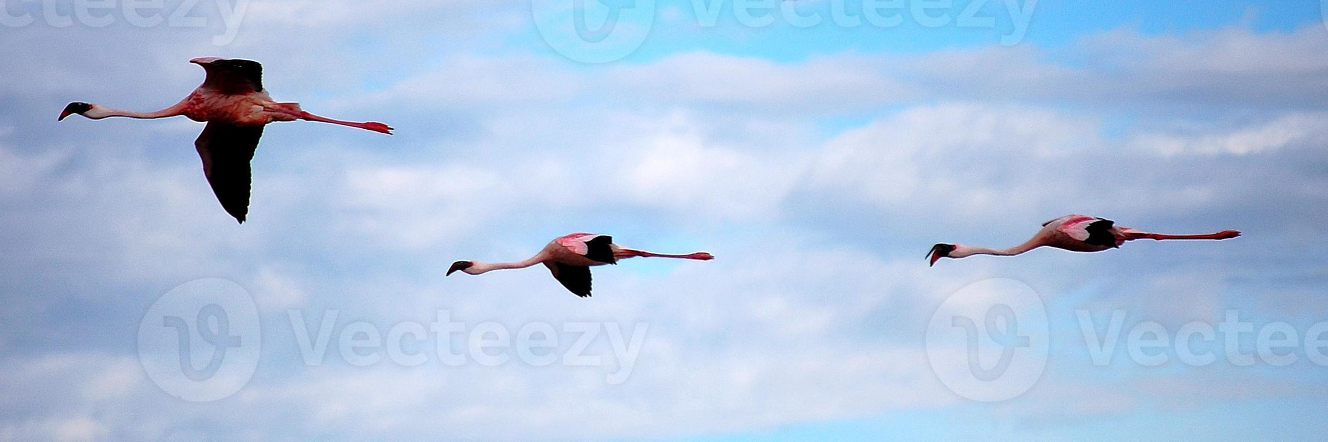 flamingo's tijdens de vlucht foto