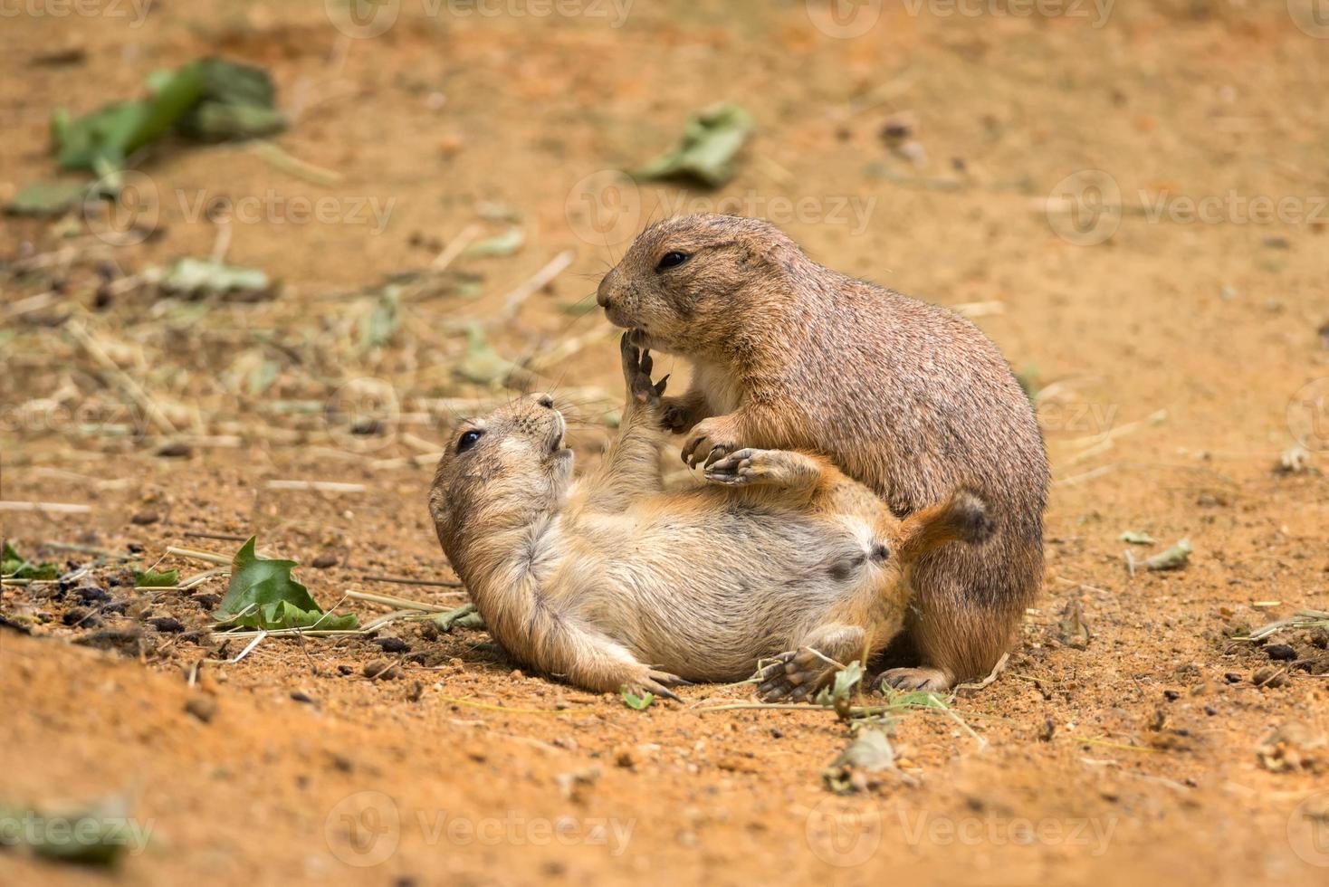 volwassen prairiehonden spelen vechten foto