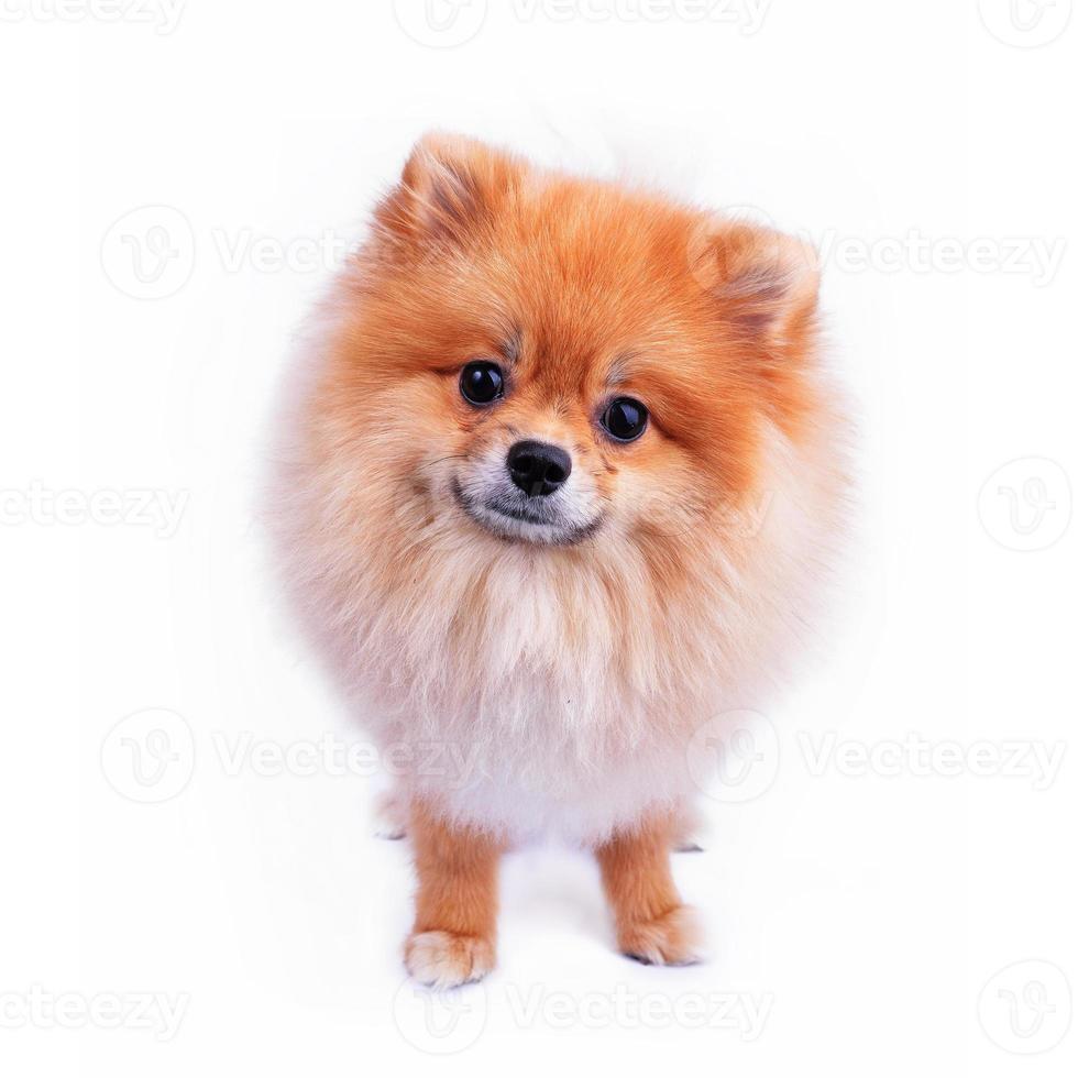 Pommeren puppy hondje foto