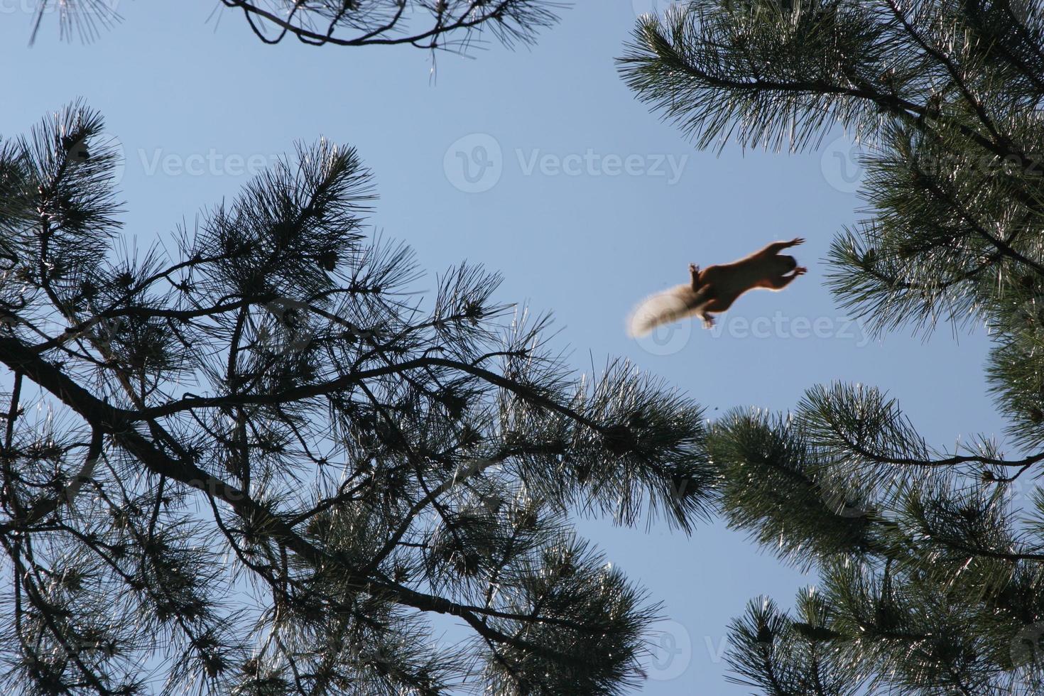eekhoorn die van de ene boom naar de andere vliegt foto